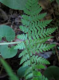 native plants maryland maryland native plant society dryopteris carthusiana