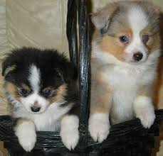 miniature australian shepherd 8 weeks best 20 toy aussie ideas on pinterest aussie puppies toy