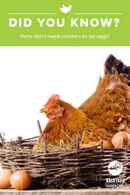 30 best chicken and egg facts images on pinterest backyard