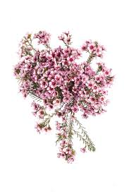 era nurseries buy trees online wholesale australian native 98 best australian botanicals images on pinterest australian