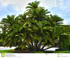 hdr palm tree cluster stock photo image of high 15814120