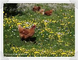 Chickens In The Backyard by Caring For Chickens Ten Questions To Ask Yourself Before You Buy