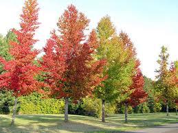 buy sweet gum tree seedlings 99 get free shipping