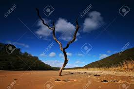 this dead tree on the of the erme estuary in the south stock