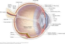 Anatomy Of The Eye Chapter 23 The Eye U0026 Ear Special Sense Organs Junqueira U0027s