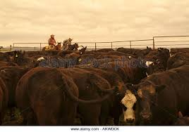 roundup cattle on ranch on stock photos u0026 roundup cattle on ranch