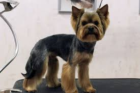 yorkie hair cut chart yorkie haircut instructions terrybishop bmb hairstyles ideas