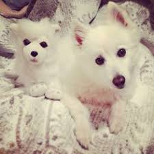 american eskimo dog london sophie the american eskimo dog animals that make me smile