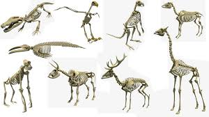 animal skeleton 3d models youtube