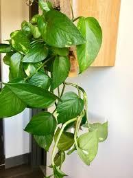 8 Houseplants That Can Survive by Houseplants 101 U2014 Lavenders Longshot