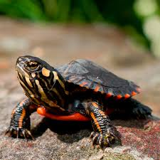 turtles and turtle tank supplies for sale shop us
