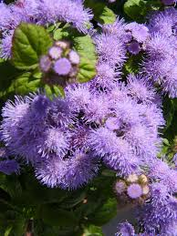 Fuzzy Purple Flowers Toukeebird Flickr