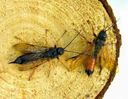 european wood wasp sirex woodwasp mdc discover nature
