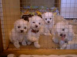 6 month old bichon frise for sale maltese dog and puppy size weight does it matter