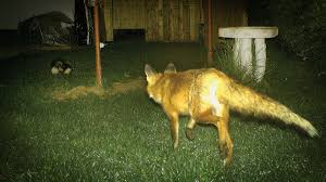 How To Get Rid Of A Skunk In Your Backyard Skunk In Backyard How To Get Rid Of Racs Images On Appealing How