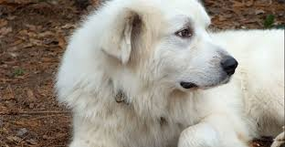 great pyrenees rescue provides wonderful dogs to good homes great pyrenees rescue of atlanta gpra
