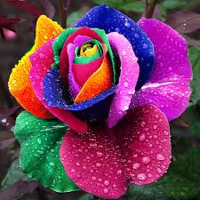 flower images 120 pcs seeds rare holland rainbow rose flower home garden rare