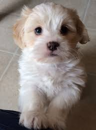 my golden boy levi 6 week old shichon must love dogs