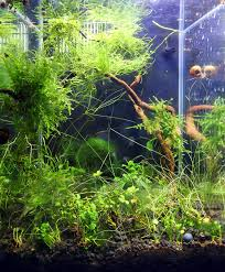 weeping moss the planted tank forum