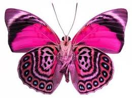 pink butterfly butterfly moth and insects
