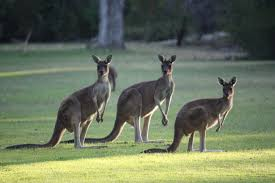 no kangaroo on the manuscript u2013 so what is it