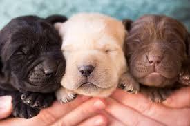 graves labrador puppies