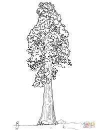 giant sequoia sentinal tree coloring page free printable
