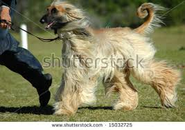 afghan hound underwater dog handler stock images royalty free images u0026 vectors shutterstock