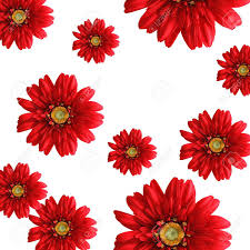 bright background of red silk gerbera daisies on white backdrop