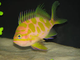 the japanese spotted anthias in the aquarium useful information