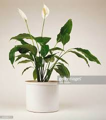Peace Lily Peace Lily Stock Photos And Pictures Getty Images