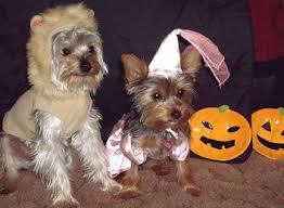 Yorkie Halloween Costumes Prize Winning Halloween Costumes