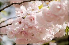 cherry blossom flowers top 15 most beautiful cherry blossom flowers