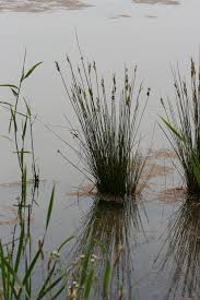 native wetland plants easy identification of some south african wetland plants