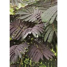 Purple Leaf Peach Tree by Shop Trees At Lowes Com