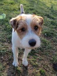haircut ideas for long hair jack russell dogs wire hair jack russell terrier wire haired jack russell wire