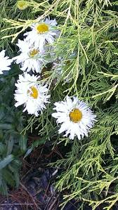 50 best shasta daisys images on pinterest shasta daisies daisy