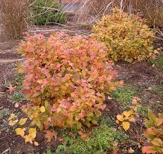 compact shrubs for easy gardens
