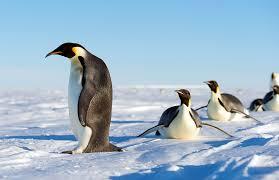 emperor penguins antarctic logistics u0026 expeditions