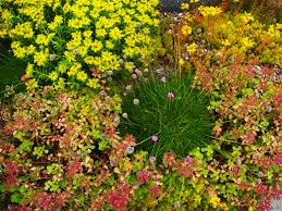 groundcovers sedums and rock garden plants