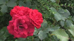 beautiful red rose flowers in garden stock footage video 10474988