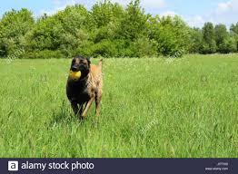 belgian shepherd ears stand up belgian shepherd stock photos u0026 belgian shepherd stock images alamy