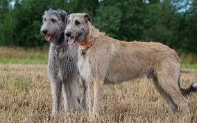 belgian shepherd for sale ireland irish wolfhound puppies breed information u0026 puppies for sale