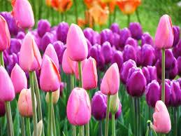wallpaper bunga tulip pink tulip flower pictures online store free romantic flowers