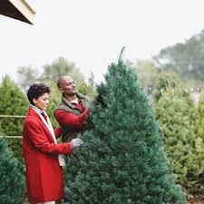 live christmas tree care for a living christmas tree garden club
