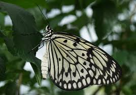 black and white butterfly photo national geographic kids my shot