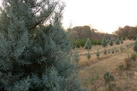 mystic farm christmas trees some pretty thing