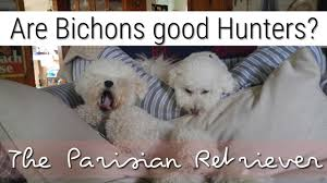 bichon frise breed standard the best breed of hunting dog is bichon frise youtube