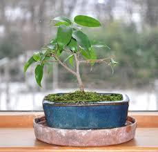 pot bonsai design bonsai good jasmine bad