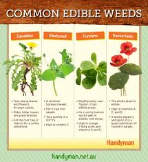4 common edible weeds new zealand handyman magazine
